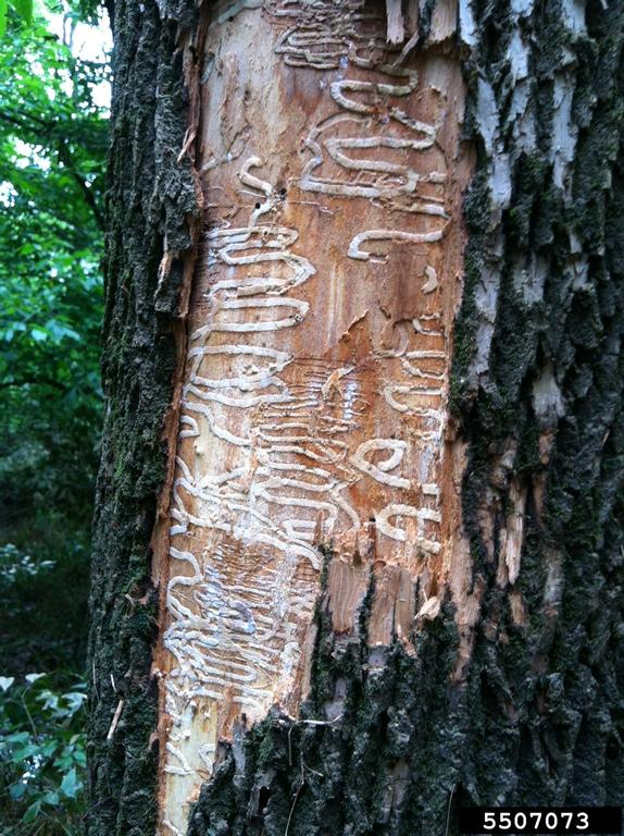 EAB damage - Emerald Ash Borer invasive insect