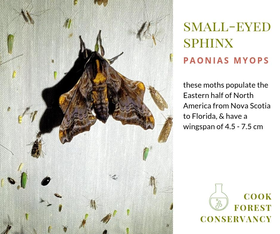small-eyed sphinx moth - paonias myops