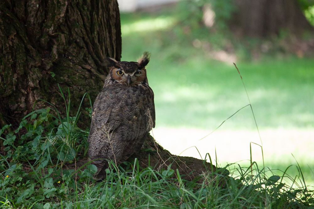 Great horned Owl - wildlife of cook forest