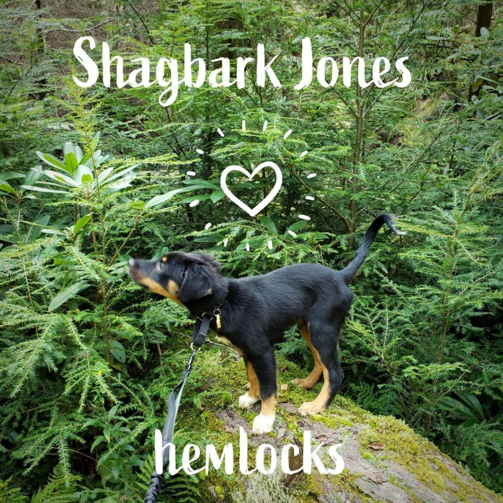 Shagbark Jones admires some hemlocks
