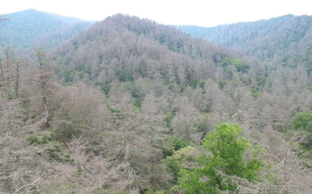 Hemlock HWA deaths in Great Smoky Mountains TN