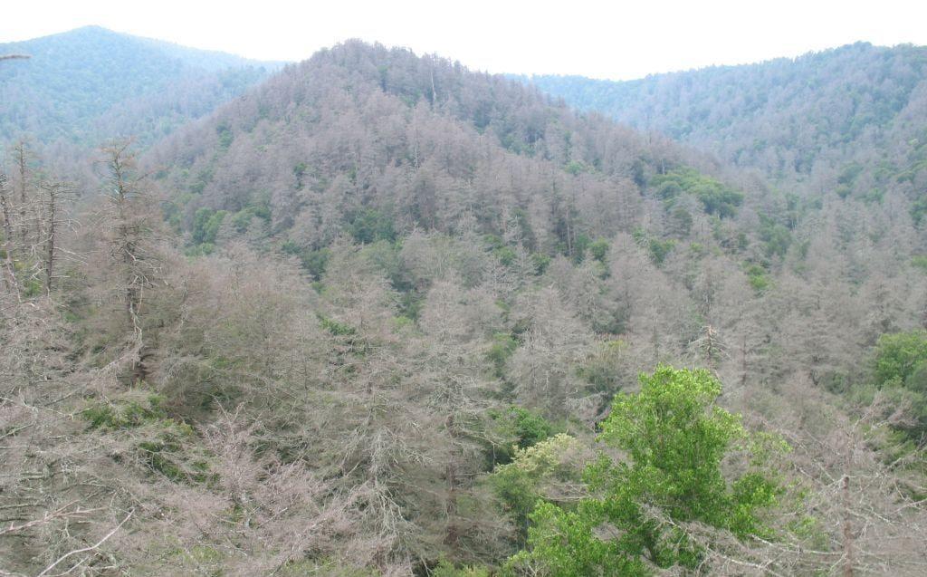 Hemlock HWA deaths in Great Smoky Mountains TN