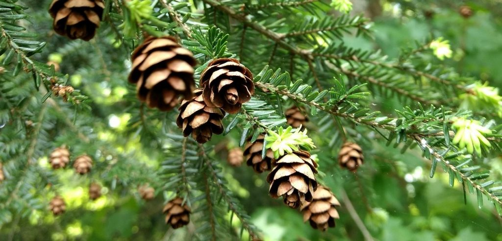 Cook Forest Conservancy nonprofit for hemlock trees & forest health