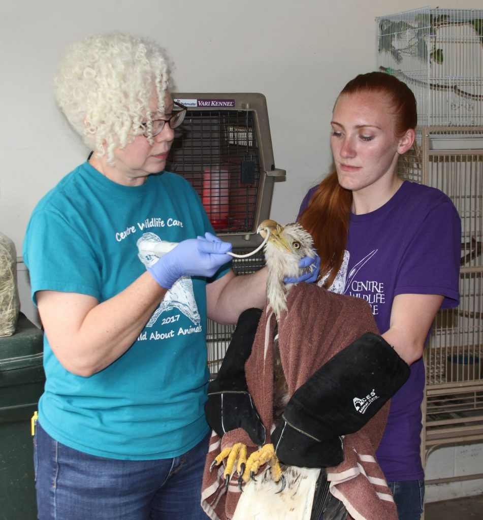 Centre Wildlife Care - tube-feeding lead poisoned eagle