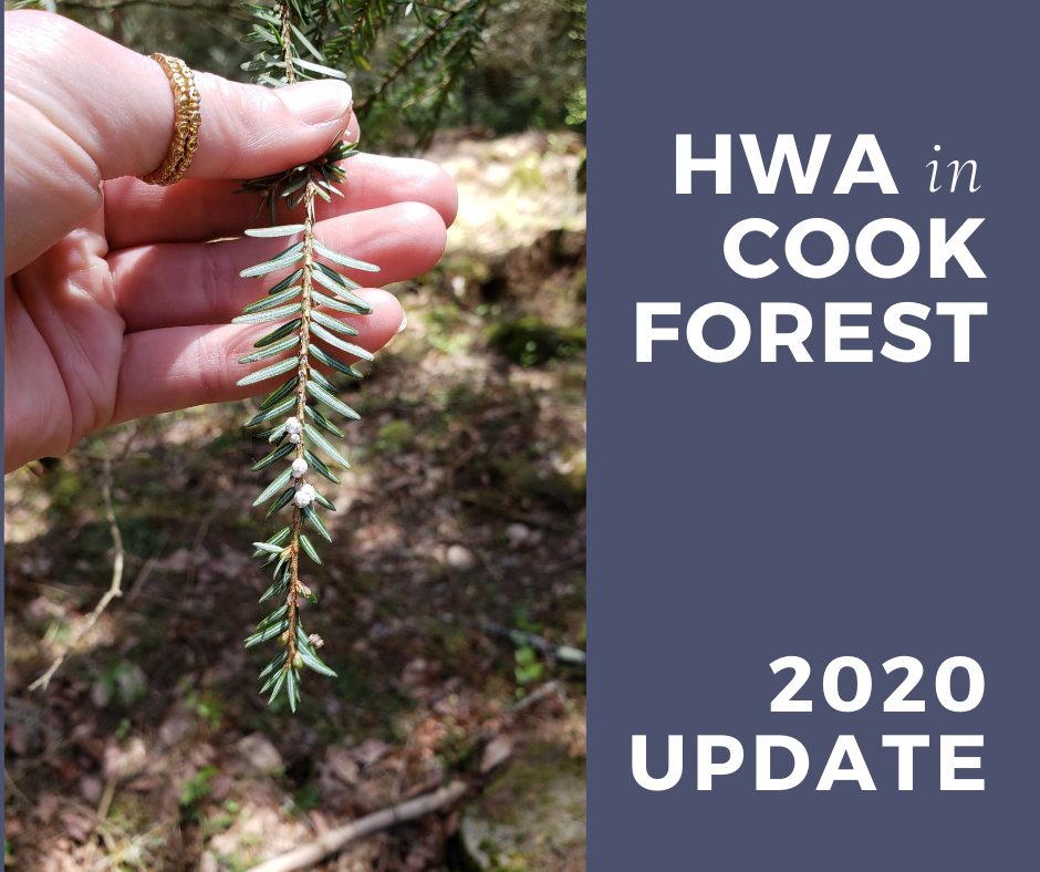 Hemlock Woolly Adelgid in Cook Forest State Park - present in 2020