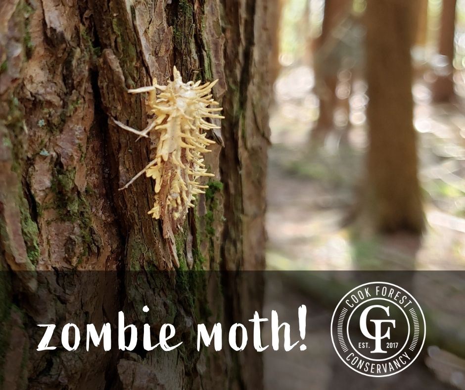zombie moth - insect infected with Cordyceps fungus