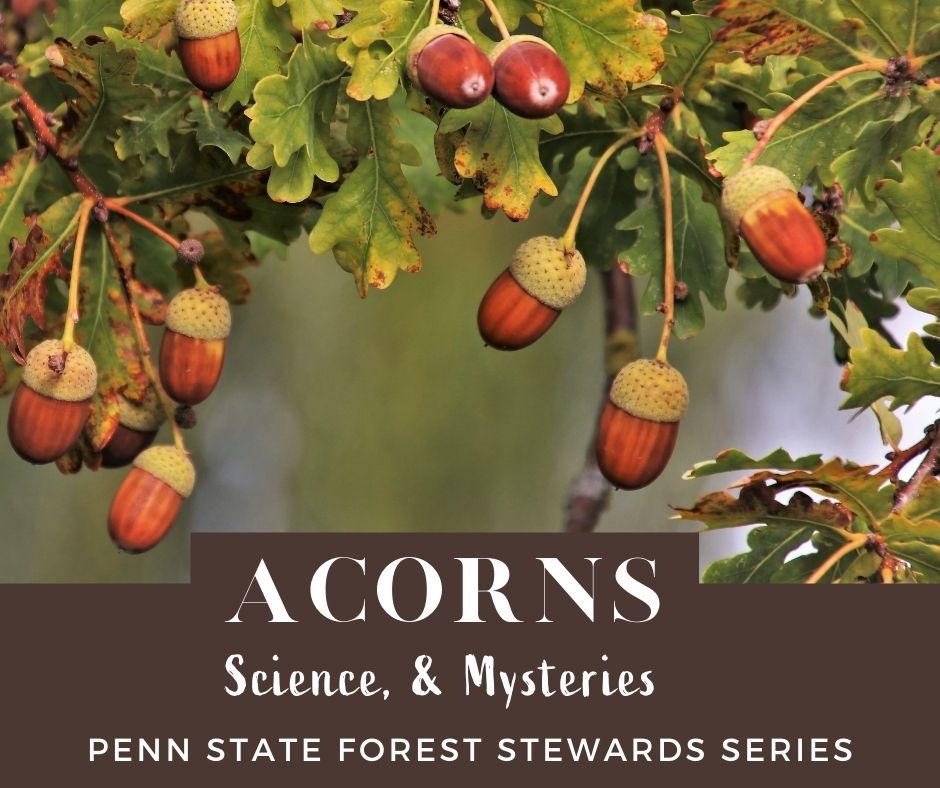 Science and Mysteries of Acorns - Pennsylvania Forest Stewards article