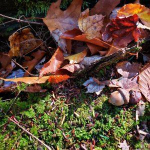 eaten oak acorn - insect infestation