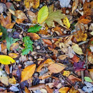 Oak Acorn Mast Production Cook Forest 2020