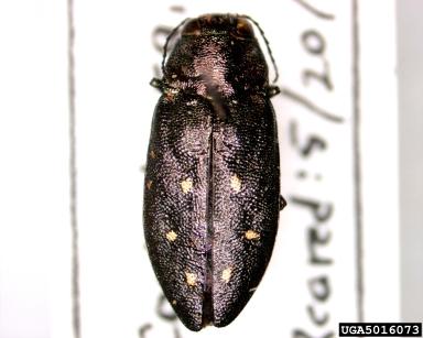 hemlock borer insect