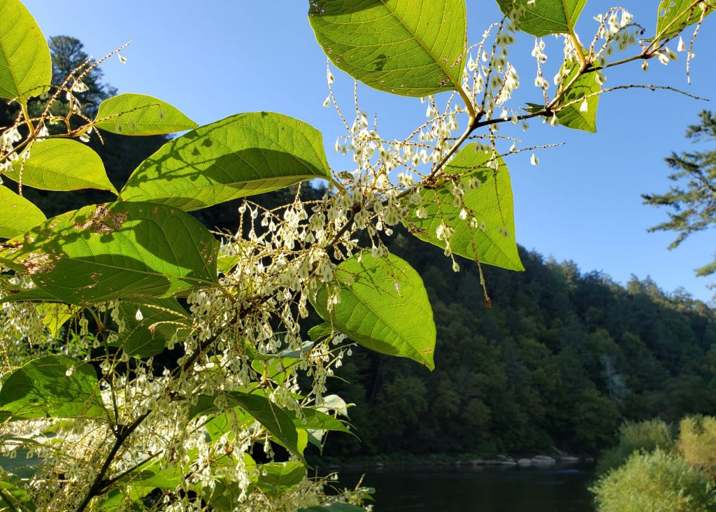 Japanese Knotweed - Clarion River - September seed pods